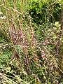 Cuscuta epithymum sl4.jpg