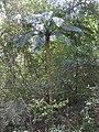 Cycas circinalis-3-mundanthurai-tirunalveli-India.jpg