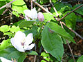 Cydonia oblonga HojasyFlores 2011-4-10 DehesaBoyaldePuertollano.jpg