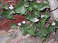 Cymbalaria muralis001.jpg