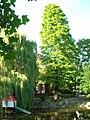 Cypryśnik błotny w parku Kaz Wlk.jpg