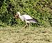 Dülmen, Storch auf einer Wiese -- 2014 -- 0050.jpg