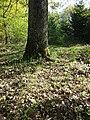 Dactylorhiza sambucina sl56.jpg