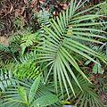 Daemonorops mollis (rattan palm) - Bukidnon Philippines.jpg