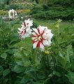 Dahlia Cultivar FireAndIce BotGardBln07122011C.jpg
