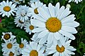 Daisy garden in Bend, OR.jpg