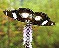 Danaid Eggfly Hypolimnas misippus (5395127307).jpg