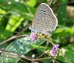 Dark Grass Blue (Zizeeria karsandra) on Boerhavia diffusa W IMG 1009.jpg