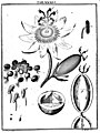 De Augen Gemüths (Ledermüller) 105.jpg