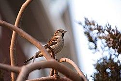 December Sparrow (49291989198).jpg