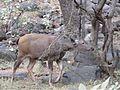 Deer in the wild.jpg