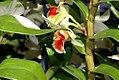 Dendrobium Green Lantern 0zz.jpg