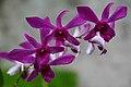 Dendrobium cultivars, Negros Occ., Philippines.jpg