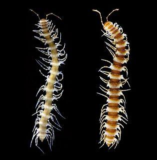 <i>Desmoxytes</i> Genus of millipedes