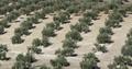 Detalle de olivar01.png