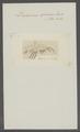 Dexamina spinosa - - Print - Iconographia Zoologica - Special Collections University of Amsterdam - UBAINV0274 098 03 0009.tif