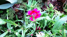 Dianthus from Macedonia.jpg