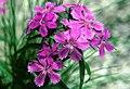 Dianthus shinanensis Shinanonadeshiko in eboshidake 1997-8-14.jpg