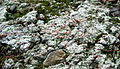 Dibaeis baeomyces pink earth lichen full.jpg