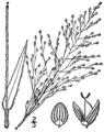 Dichanthelium scoparium (as Panicum scoparium) BB-1913.png