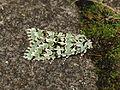 Dichonia aprilina (15239688450).jpg
