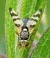 Diptera-Tephritidae-Urophora-jaceana-201206100191.JPG