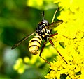 Diptera (2738971811).jpg