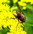 Diptera (2739004461).jpg
