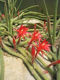 Disocactus martianus 001