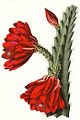 Disocactus speciosus pm T17.jpg