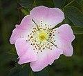 Dog rose (39649829923).jpg