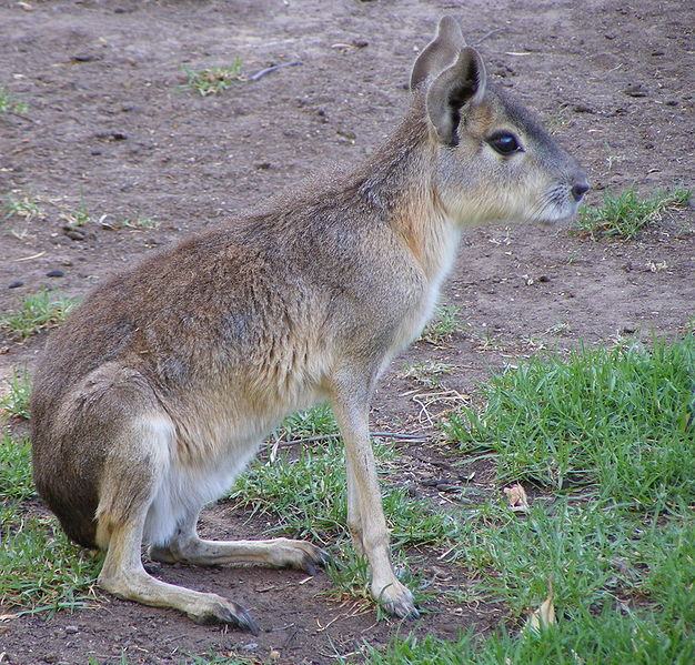 ארנב פטגוני