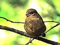 Domherre Eurasian Bullfinch (14983336215).jpg
