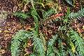 Doodia australis in Wellington Botanical Garden 01.jpg