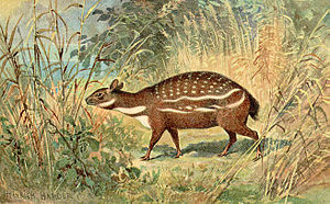Chevrotain - Painting of Dorcatherium.