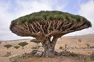 Dragon Blood Tree, Socotra Island (10098980413).jpg