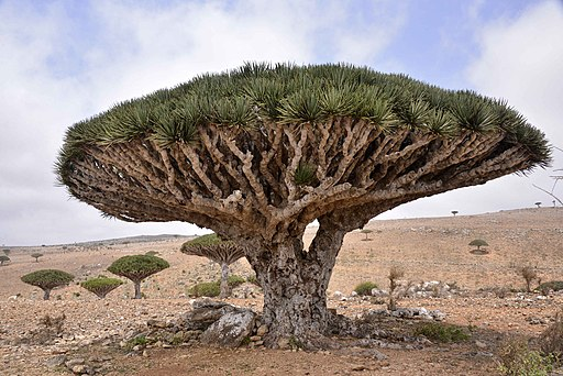 Dragon Blood Tree, Socotra Island (10098980413)
