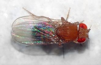Drosophila melanogaster - Image: Drosophila melanogaster top (aka)