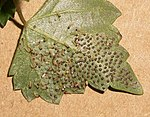 Dusky Acraea eggs hatching 04 02 2011.JPG
