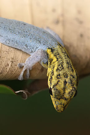 Description de l'image Dwarf yellow-headed gecko portrait.jpg.