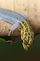 Dwarf yellow-headed gecko portrait.jpg