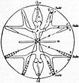 EB1911 Ctenophora Fig. 2.jpg