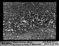 ETH-BIB-Weisse Crocus-Wiese, Montagne de Sardes bei Reconvilier-Dia 247-14632.tif