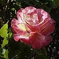 Easter Rose (8607669512).jpg