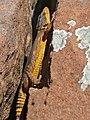 Eastern Cape Crag Lizard (Pseudocordylus microlepidotus fasciatus) male (32744445115).jpg
