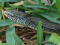 Eastern Glass Lizard.jpg