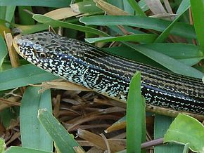 Description de l'image Eastern Glass Lizard.jpg.