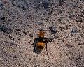 Eastern Velvet Ant (9411675543).jpg