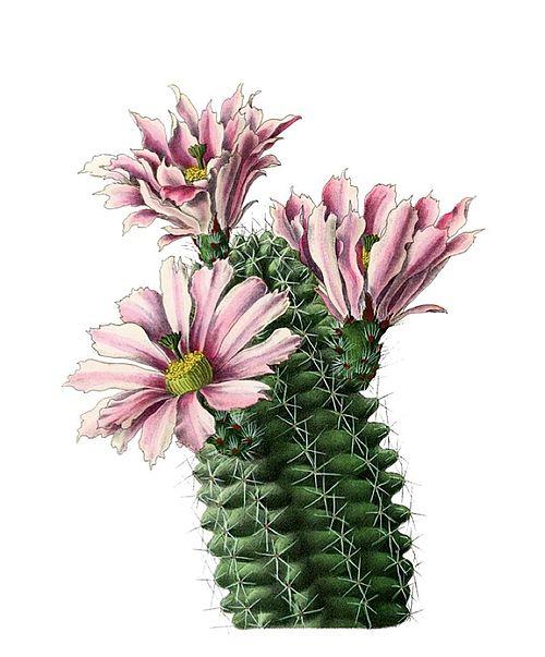 500px echinocereus fendleri hempelii pm