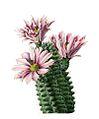Echinocereus fendleri hempelii pm.jpg